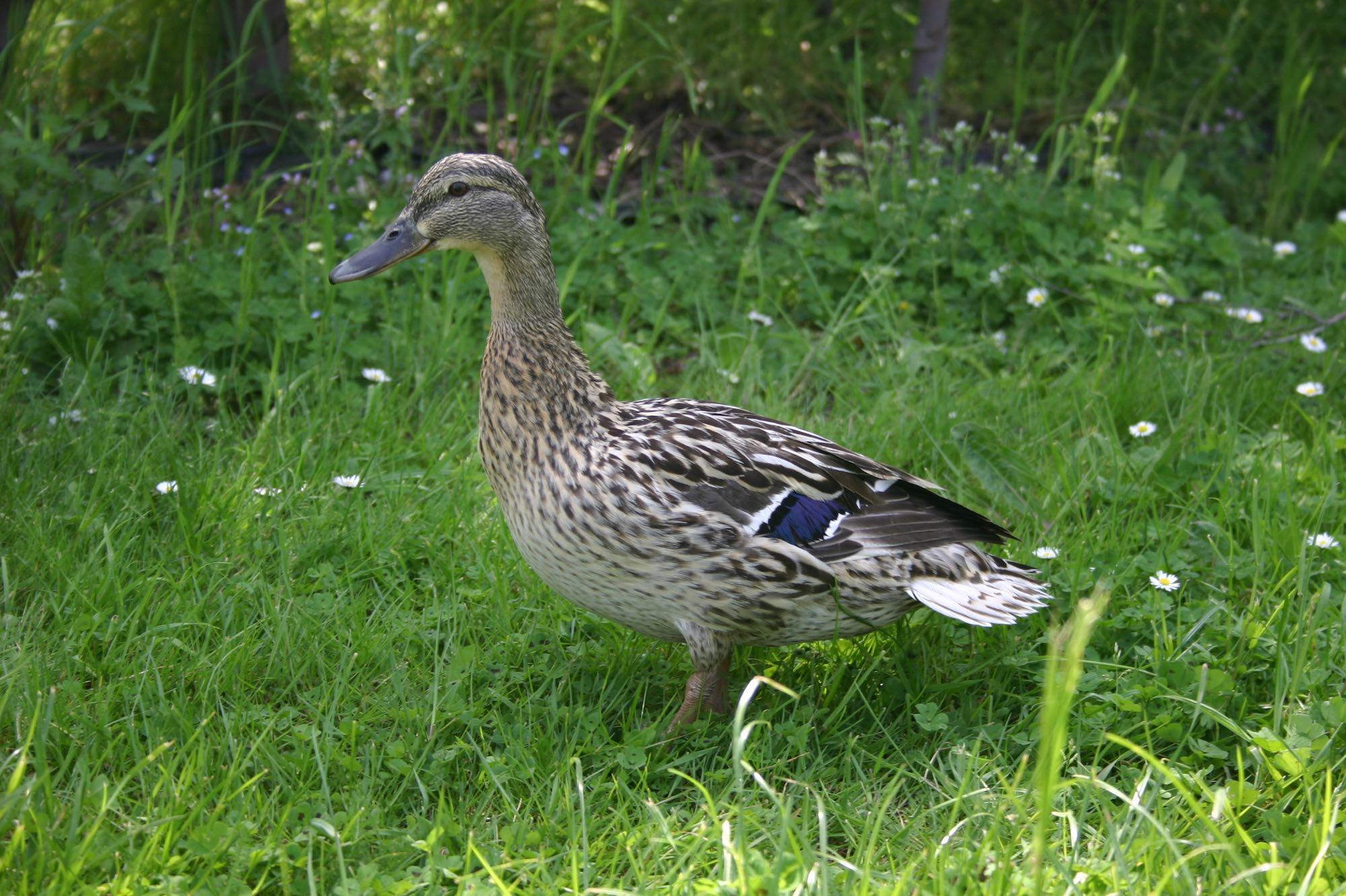 bonners resident duck